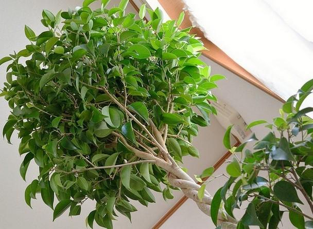 sancharbel-departamento-decoracion-plantas-ficus