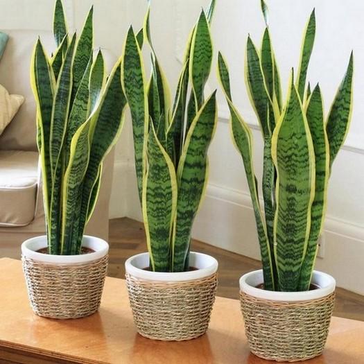 sancharbel-departamento-decoracion-plantas-serpiente